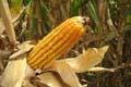 Corn1thumb